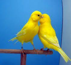 Resultado de imagem para canarios