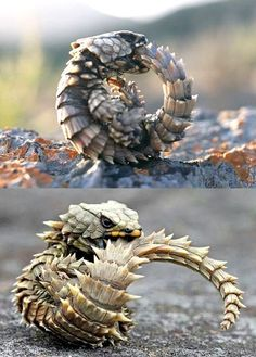The armadillo lizard bites its own tail to roll up into a ball as a defense mechanism.-- The armadillo lizard bites its own tail to roll up into a ball as a defense mechanism. Nature Animals, Animals And Pets, Baby Animals, Funny Animals, Cute Animals, Desert Animals, Wild Animals, Les Reptiles, Cute Reptiles