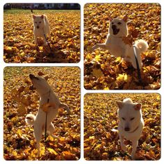 Leaves are a great source of entertainment for my Shiba. #shibainu #furkid
