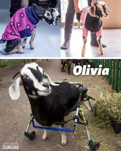 Olivia llegó al santuario con la mitad trasera de su cuerpo paralizada. Tenía una lesión en la médula y su situación era irreversible.  Así junto a Olivia iniciamos un largo y difícil camino de idas al veterinario exámenes sesiones de fisioterapia cambios de rutina y de sillitas de ruedas. Pero su sillita actual soporta hasta 31kg y ella está pesando 43kg! La estructura de la silla ya no es capaz de soportar su peso y se está empezando a romper y a hacerle la vida más difícil a Olivia.  Por…