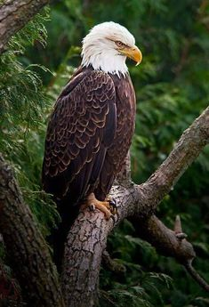 Bald Eagle in Ohio Eagle Images, Eagle Pictures, Animal Pictures, Beautiful Birds, Animals Beautiful, Aigle Animal, Types Of Eagles, Animals And Pets, Cute Animals