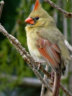 A female Cardinal shows off her exotic colouration at the Fletcher Wildlife Garden, Mar 29, 2011.    IMG_7477_02     See amazingly beautiful photos of ruby necklaces and more on my Jewelry Board @http://bit.ly/RJgSdp. Check out the latest Videos, News Tips & Trends in Ladies Fashion @ http://www.ladiesfashioninf
