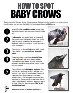 Crows – The Urban Nature Enthusiast Crow Facts, Raven Facts, Beautiful Birds, Animals Beautiful, Funny Animals, Cute Animals, Smart Animals, Baby Crows, Quoth The Raven