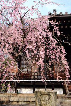 cherry trees at evening Myoman-ji Temple in Kyoto,Japan