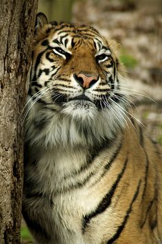 Brytne - matriarch of our local Sumatran tiger family | by conwest_john
