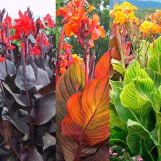 Shop Canna Tropicanna Collection at J Parkers. Tropical foliage and superb flowers for an exotic look, for a show stopping display. Available online in the UK. Exotic Plants, Exotic Flowers, Tropical Flowers, Tropical Plants Uk, Red Plants, Tropical Garden Design, Tropical Backyard, Tropical Gardens, Florida Landscaping
