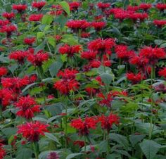 Dog Safe - Bee balm (Monarda) is a popular perennial plant used in bee and butterfly gardens. Bee balm is a native plant and also has a long history of medicinal uses. Nautilus, Bee Balm Flower, Bee Balm Plant, Flowers That Attract Hummingbirds, Types Of Herbs, Herbs Indoors, Flower Seeds, Native Plants, Amazing Flowers