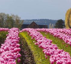 There's a pretty Barn just beyond those Tulips!
