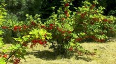 Rote Johannisbeere. Winterhart (grün und so), lebt auch im Topf. Und schmeckt gut.