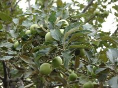 When Do You Spray Apple Trees and With What Chemicals?