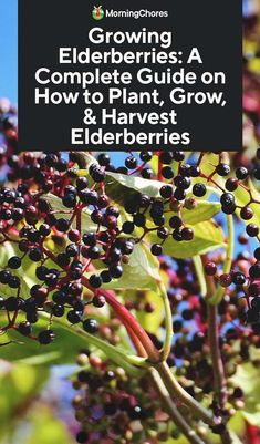 Home vegetable garden - Growing Elderberries A Complete Guide on How to Plant, Grow, & Harvest Elderberries – Home vegetable garden Home Vegetable Garden, Fruit Garden, Edible Garden, Herb Garden, Garden Plants, Garden Pond, Elderberry Growing, Elderberry Plant, Elderberry Recipes