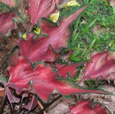 caladium_caladium red frill(1)