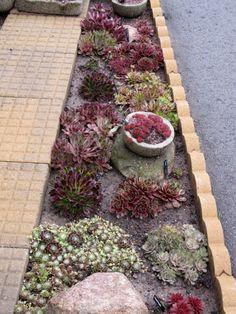 Picture of my sempervivum garden