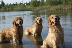 So majestic & wet. Golden Retrievers and water = ❤️