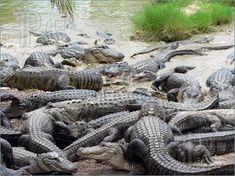 A Congregation of Alligators