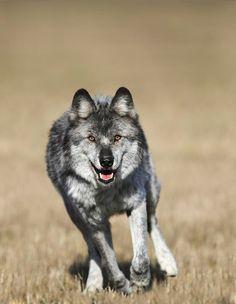 Running Wolf by Richard Wear ️LO