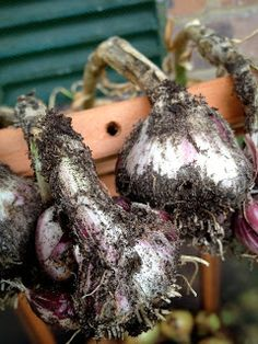 I've been harvesting the Early Purple Wright Garlic this weekend and I may have left them a little too long in the ground or maybe done some. Balcony, Harvest, Garlic, Weird, Christmas Ornaments, Vegetables, Holiday Decor, Christmas Jewelry, Balconies