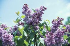 How to Propagate Lilacs from Cuttings
