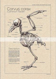 Printable Art Instant Download - Raven Crow Skeleton Diagram Vintage - Paper Crafts Scrapbooking Altered Art - Vintage Bird Anatomy Chart
