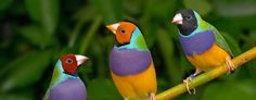 Gouldian finches,Erythrura gouldiae, are an extraordinarily colourful species of passerine bird endemic to subtropical woodlands of northern Australia. Both sexes are brightly coloured with red, g…
