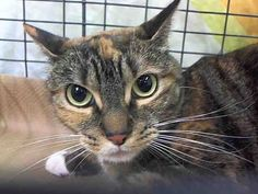 ***Killed at ACC*** Manhattan Center My name is KIARA. My Animal ID # is A1011153. I am a spayed female calico domestic sh mix. The shelter thinks I am about 3 YEARS old. Loves to play Enjoys Petting Uses a scratch post Loves to cuddle & be picked up HABITS Eats dry food Always uses the litter box. Killed because of allergies.  Rest in peace, sweet cuddly girl...  :(