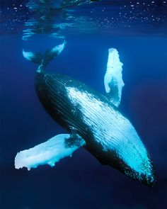 humpback whale graceful (by *michael sweet*)