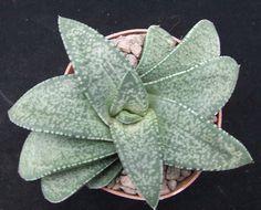 Gasteria Vlokii choice 11.5cm ex-collection plant succulent / cactus | eBay