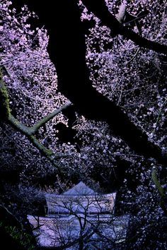 Odawara Castle at night with cherry trees, Japan