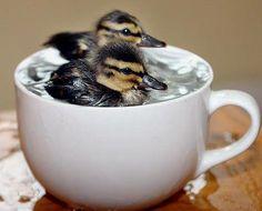 Eendenkuikens in een pot met water