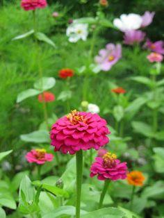 Zinnias.  A summer favorite in our garden.