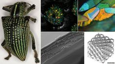 Diamond weevil's apt name explained