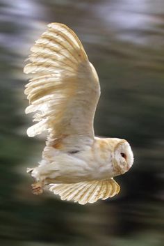 Owl in flight. So much detail, this is beautiful to me. I adore barn owls Beautiful Owl, Animals Beautiful, Cute Animals, Owl Bird, Pet Birds, Photo Animaliere, Owl Pictures, Wise Owl, Tier Fotos