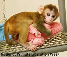 National Primate Liberation Week (Oct 6 - 14) - Many of these primates experience horrible conditions. Recent government documentation has revealed primates dying of dehydration, starvation, hypothermia, heat stress, being boiled alive in cage washers, wasting diseases, hepatitis, encephalitis, and many other severe illnesses. It is crucial that all of us work together to educate the public about the horrors of primate experimentation.