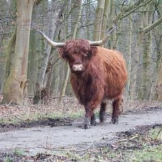Wild cow in the amsterdam forest