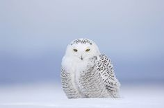 Snowy owl by Vincent Munier Art Pictures, Photos, Munier, Bird Nursery, French Photographers, Expositions, Snowy Owl, Owl Art, Amazing Grace
