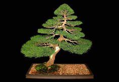🔸🔺🔸🔻🔹Bonsai Trees : More At FOSTERGINGER @ Pinterest 🔴⚫️🔷🔹🔸🔺