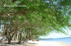 Tamarind trees at Laiya Coco Grove beach resort Tamarind, Find Hotels, Travel Information, Beach Resorts, Philippines, Travel Guide, Trees, Vacation, Places