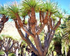 Dragon trees, Jardín Botanico Viera y Clavijo