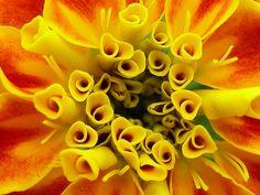 marigold - Google Search