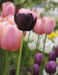 Black Tulip: Queen of the Night