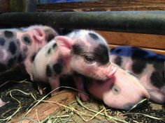 Teacup Pigs Pictures, Check out 25 amazing pictures of these beautiful micro pigs, pocket pigs, and miniature pigs. Unusual Animals, Rare Animals, Animals Beautiful, Animals And Pets, Exotic Animals, You're Beautiful, Baby Piglets, Teacup Pigs, Mini Pigs