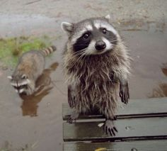 20 rules of life raccoons
