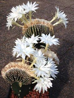 You searched for cactus - PlantsBank Weird Plants, Unusual Plants, Exotic Plants, Unusual Flowers, Rare Flowers, Beautiful Flowers, Cactus E Suculentas, Cactus Planta, Cacti And Succulents