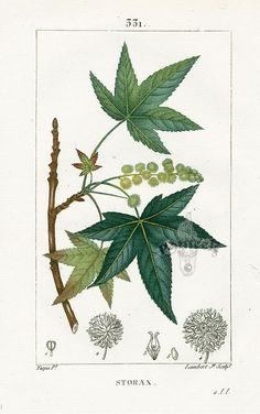 Maple. Turpin Botanical Prints 1815