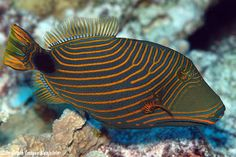 This beauty is the Orange-Lined Triggerfish, also known as the Redlined Triggerfish. They can get to around 12 inches long and are found mostly around the Great Barrier Reef, Australia.