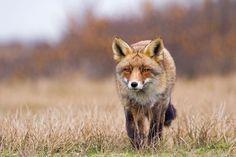 Hollanda'dan Tilki Fotoğrafları