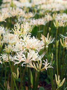 White spider lilies, 彼岸花, 曼珠沙華, | by T.Kiya