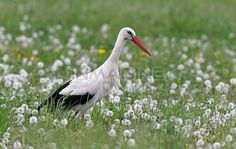 White Stork (Ciconia ciconia) in a dandelion meadow,Burgenland,Austria Stock Photography