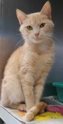 Buff is an adoptable Domestic Short Hair - Buff Cat in Henderson, KY. I am ready for my new home! Please come save me today! My adoption fee includes ALL of the following: Spay/Neuter, Microchip I.D.,...