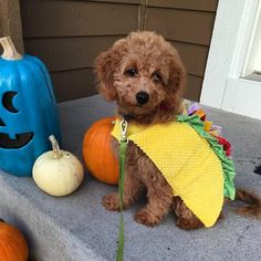 Pin for Later: 25 Adorable Dogs Dressed Like Tacos This Curly Taco